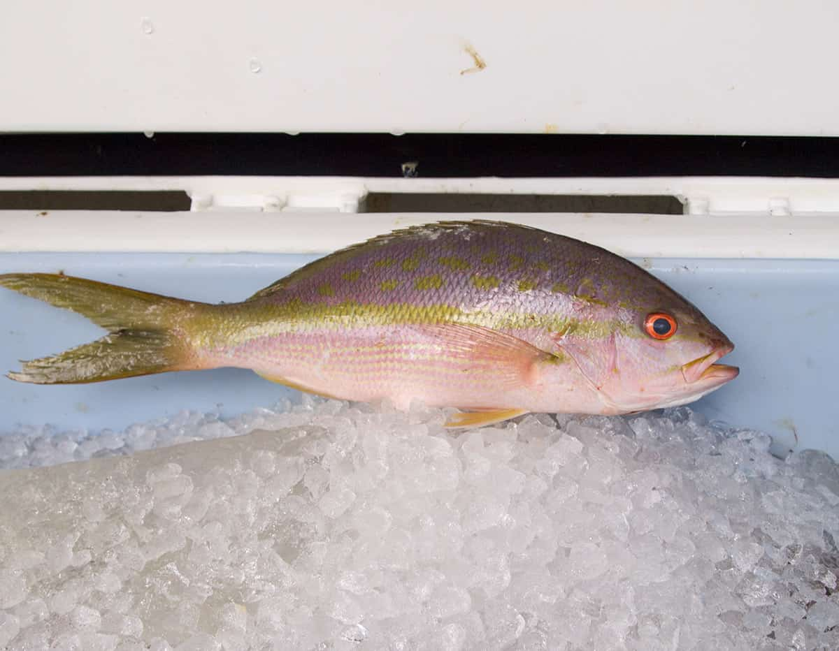 Yellowtail snapper fresh seafood delivery for Fresh fish delivery