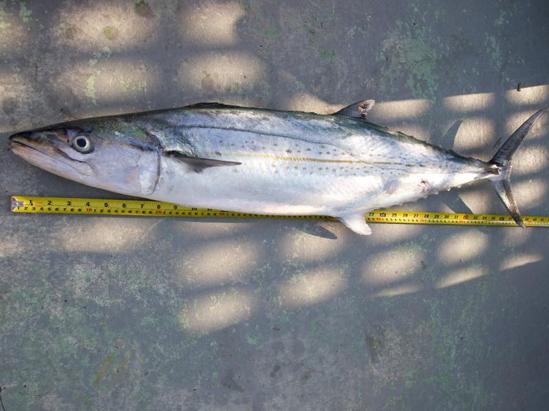 Cero mackerel online fish store for Online fish stores