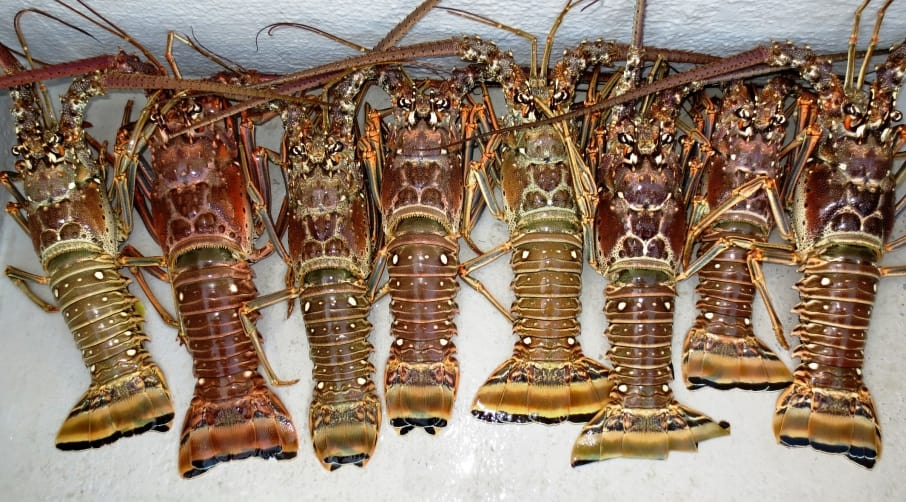 Whole Lobster Buy Lobster Online Eaton Street Seafood